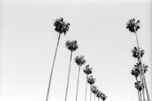 Palm trees in Los Angeles photographed by Stephen Albanese Sonic Editions prints