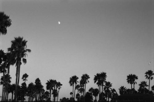 Palm trees in Venice Beach photographed by Stephen Albanese Sonic Editions print